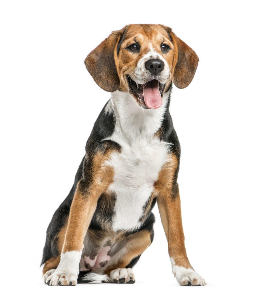 razza-Beagle