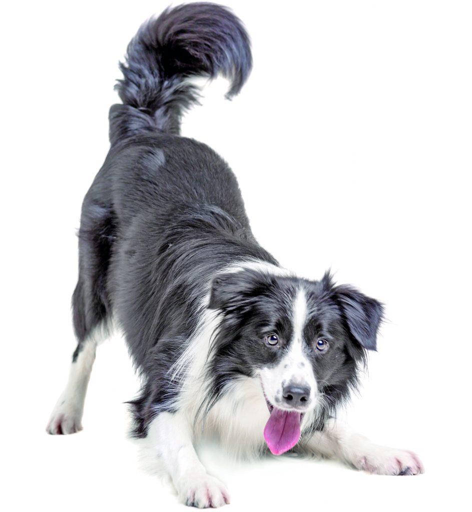razza-cane-border-collie