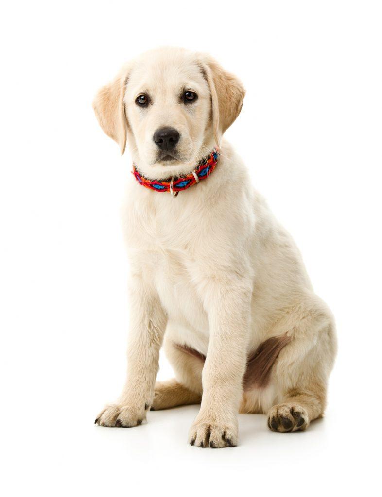 razza-cane-labrador.