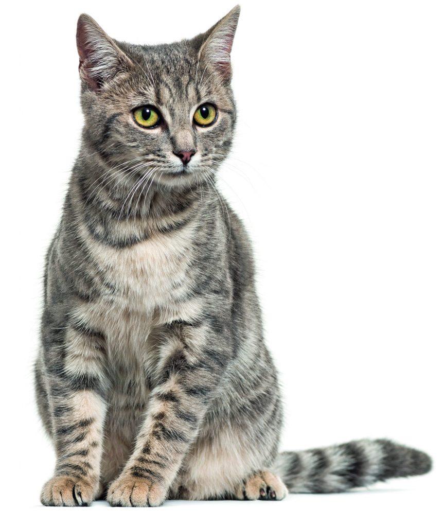 gatto europeo striato