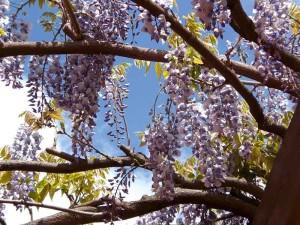 Le fioriture di aprile: il glicine
