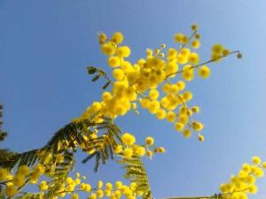 Fiori di primavera mimosa