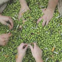 Olio extravergine di oliva – La Pieve