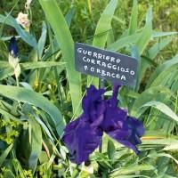 La Massini integra le peonie erbacee nelle aiuole con gli iris