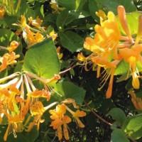 Rampicanti, le piante per decorare