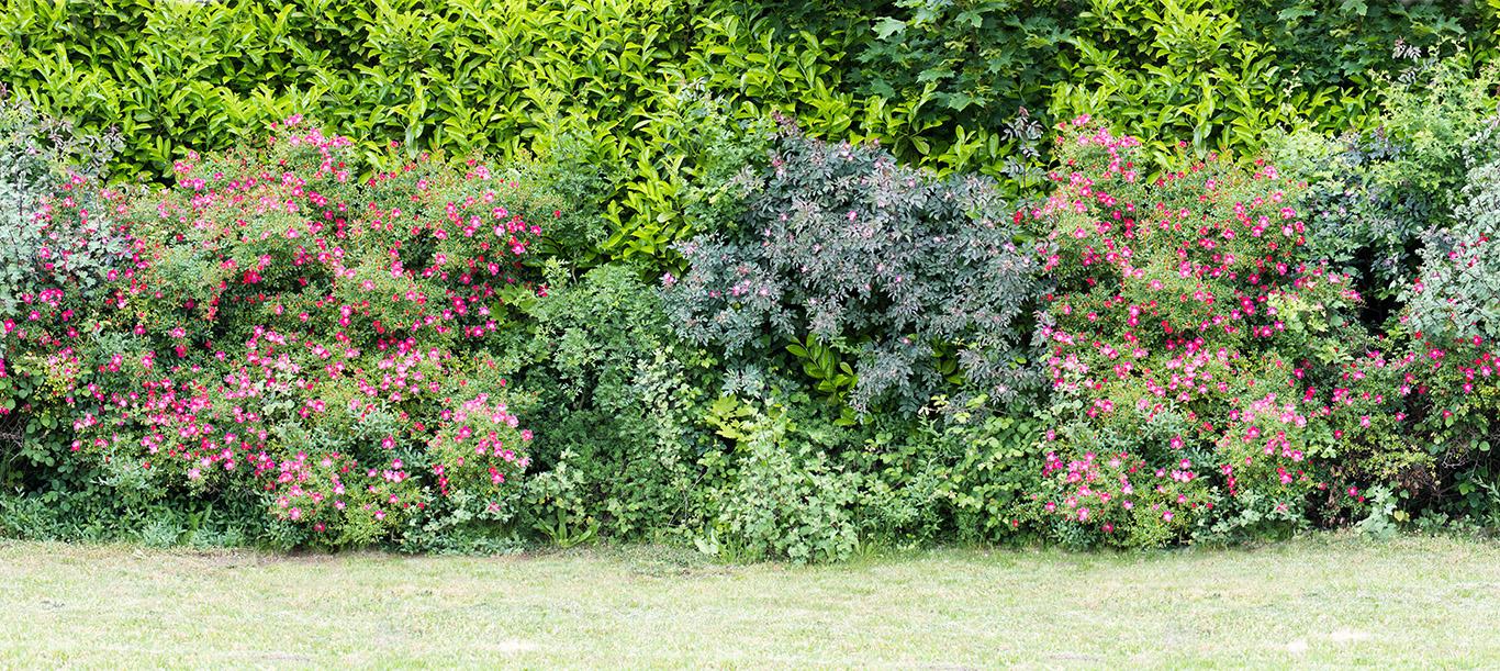 Cespugli Sempreverdi Con Fiori l'arbusto speciale dai fiori blu - ville&casali