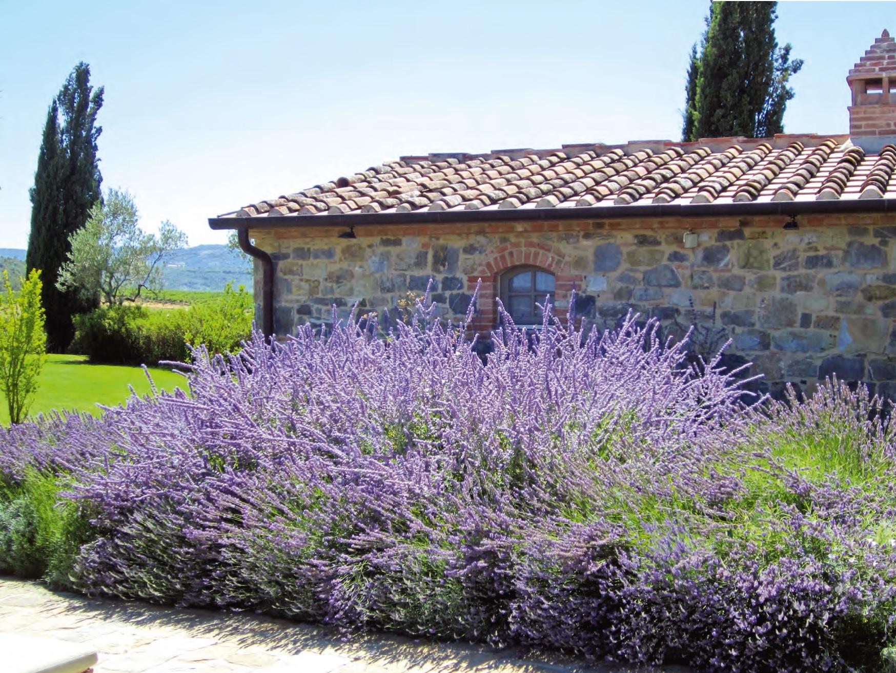 Pianta colorata e profumata la peroschia ville casali - Azalea pianta da interno o esterno ...