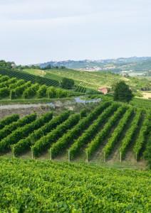 Monferrato vigna