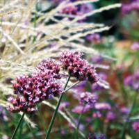 Erbacee perenni: complemento da giardino