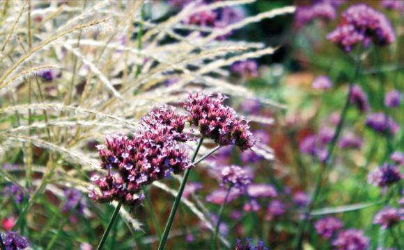 Erbacee perenni per il giusto complemento di un giardino for Erbacee perenni
