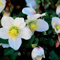 Elleboro: l'elegante fiore d'inverno
