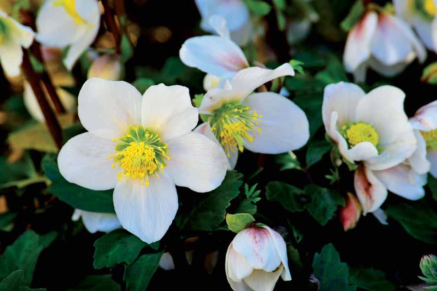 elleboro lelegante fiore dinverno