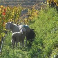 Agricoltura biodinamica: il futuro del vino