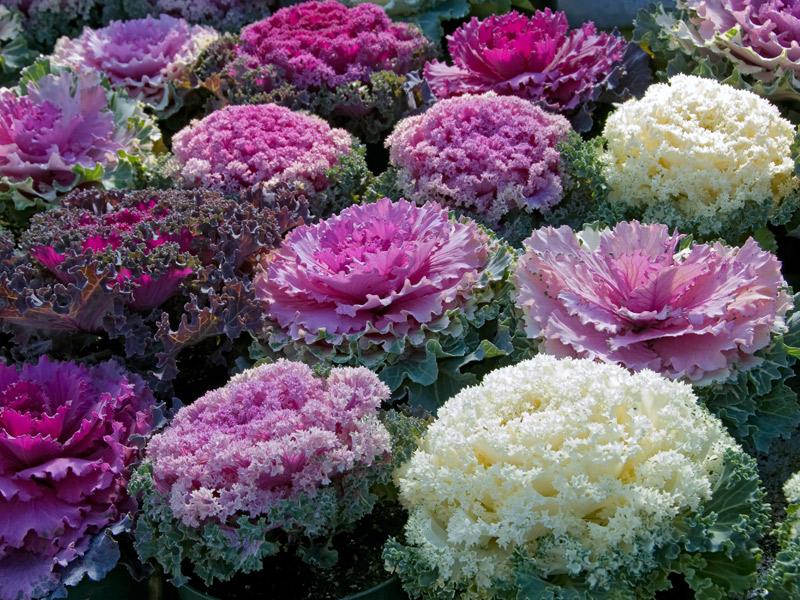 cavolo fiori
