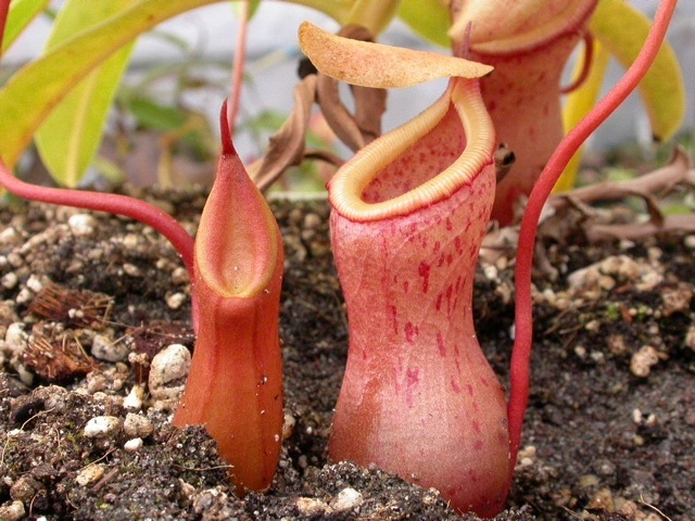 Nepenthes-hookeriana