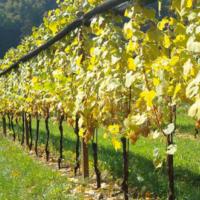 In Friuli è nata una nuova produzione di vino: il Picolit