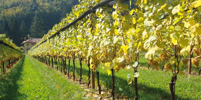 Produzione di vini in friuli ecco come nasce il picolit for Progettazione giardini friuli venezia giulia