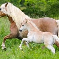 Icona Haflinger, una razza di cavalli che appassiona