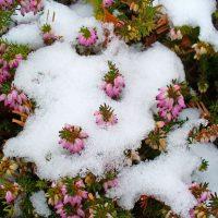 Fiori invernali, erica