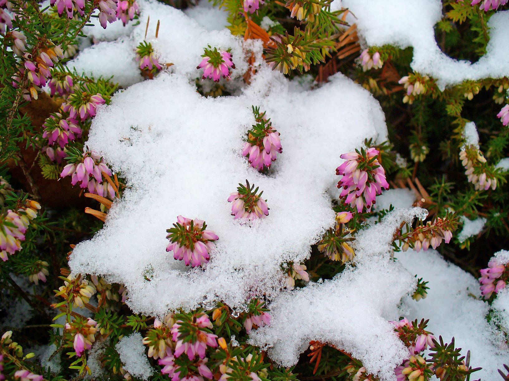 Calicanto Fiore D Inverno fiori invernali: 4 specie che sbocciano al freddo - ville&casali
